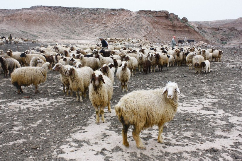 A heard of fuzzy goats gather on a gravely, arid valley. Several goats look straight at the camera.